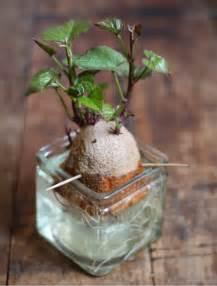 gardening how to grow sweet potatoes my favorite things