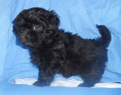 what does a shih poos tail look like shihpoo puppy shih tzu poodle mix i want one so bad