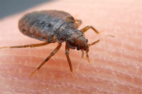 bed bug wiki a plague of bed bugs myrmecos blog