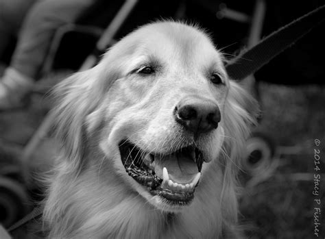 black and white golden retriever pictures monochrome madness week 19 visual venturing