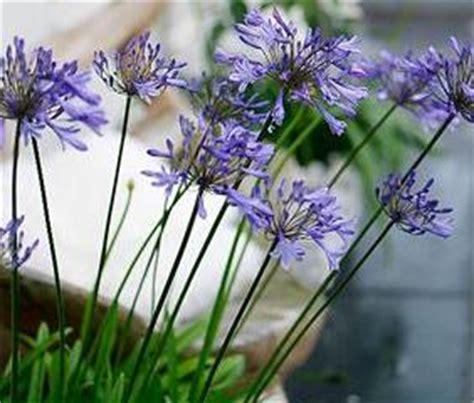 bulbi da fiore perenni i bulbi a fioritura estiva consigli informazioni immagini