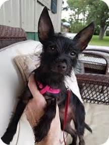 yorkie rescue louisville 17 best ideas about terrier rescue on yorkie puppies yorkie and