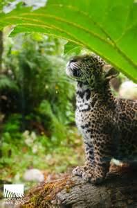 Are Jaguars Reliable Woodland Park Zoo Jaguar Cubs Take Practice