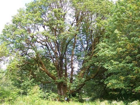 oregon loses world s largest bigleaf maple in wind oregonlive