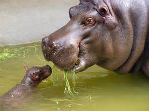 today omg baby hippos on tap for today