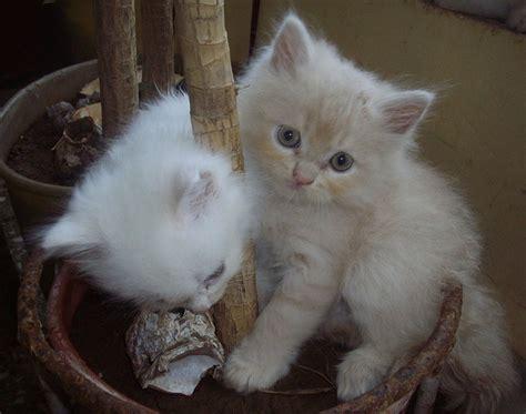 Inidia Cat 27 file mumbai doll faced kittens jpg wikimedia