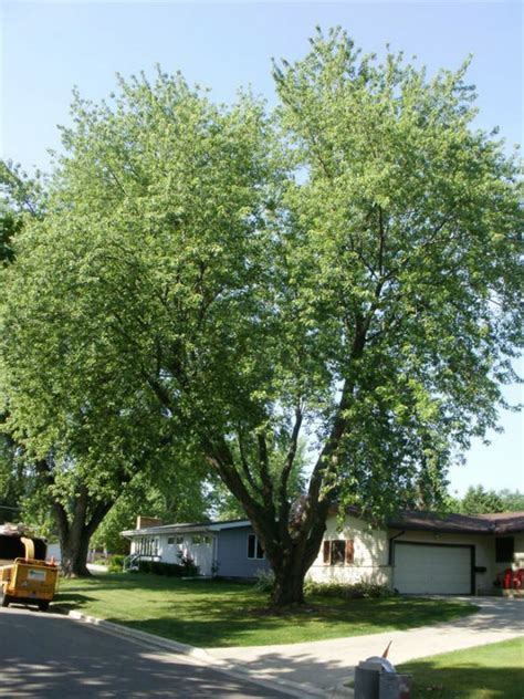 maple tree trimming silver maple tree pruning buckley tree service