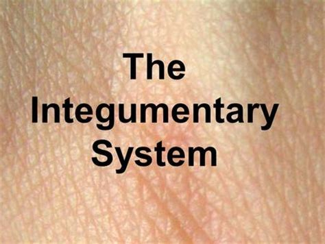 section 36 3 the integumentary system 32 3 skin the integumentary system ppt video online