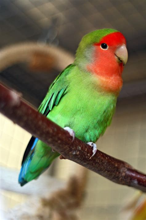 For Lovebird file agapornis roseicollis faced lovebird pet on