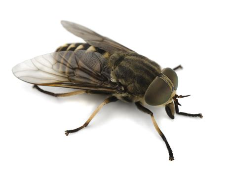 horse flies in house how to get rid of flies in the house tips information