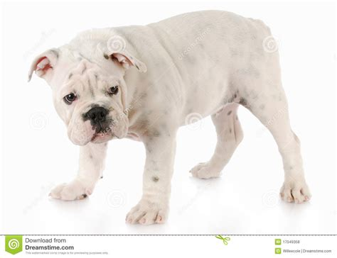 looking for free puppies guilty looking puppy royalty free stock photos image 17049358