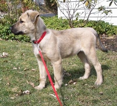 chow shepherd puppies chow shepherd breed information and pictures