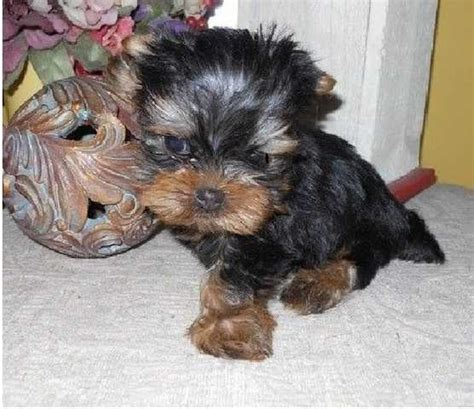 teacup yorkies for sale in west virginia mini yorkie puppies for free adoption for sale from kanawha west virginia adpost