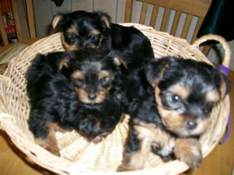 shorkie puppies for sale shorkie puppies for adoption breeds picture