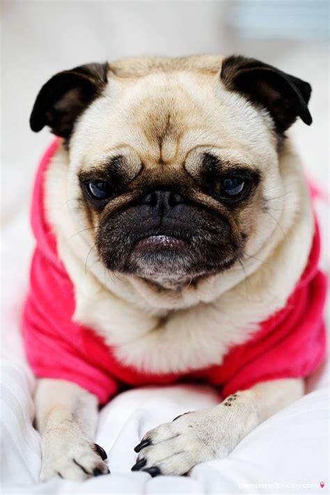 grumpy pug grumpy pug pugs
