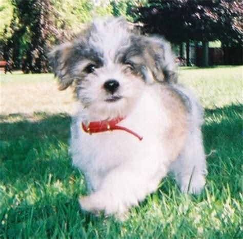 how often do yorkie poos need to be grooming shih poo haircuts pictures search results hairstyle galleries