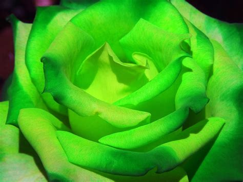 flower wallpaper green rose green rose flowers wallpapers beautiful flowers wallpapers