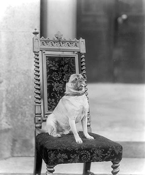 what pugs looked like before selective c 1880 rebrn what pugs looked like before selective c 1880 rebrn