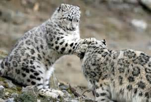 Snow leopard among endangered species threatened by growing cashmere