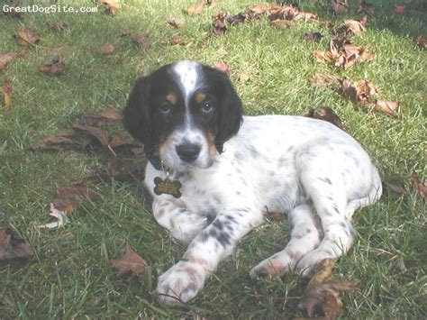 setter dogs pictures 113 best english setter gordon setter irish setter images