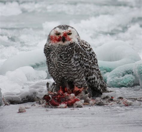 snowy owl eating a duck 187 focusing on wildlife