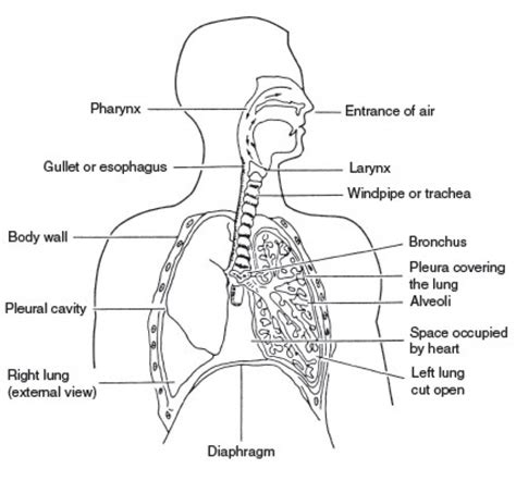 system diagrams respiratory system diagram labeled human anatomy system