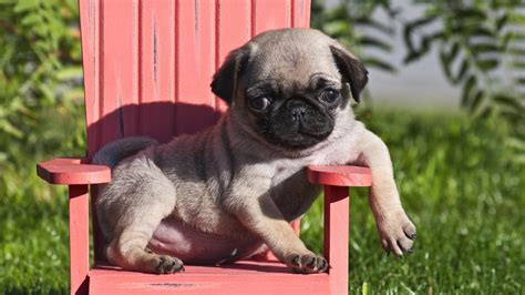 miniature pug teacup pug puppies for sale and from breeders with prices