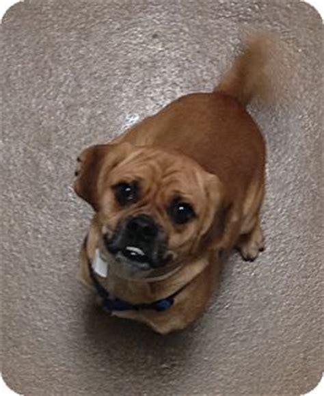 pug adoption ohio puggles adopted puppy lewis center oh pug beagle mix