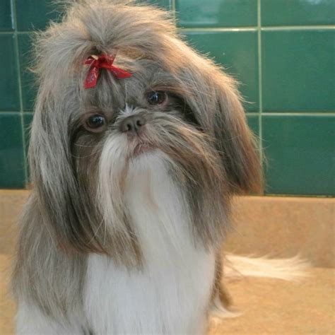liver nose shih tzu shih tzu coat colors