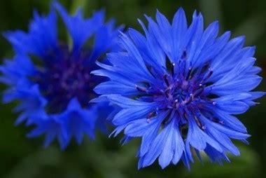 fiordaliso fiore fiore di fiordaliso fare di una mosca