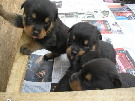 rottie puppies for sale pedigree rottweiler puppies for sale dunmow essex pets4homes