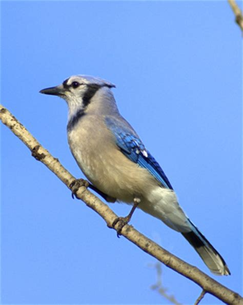 blue jay bird information ehow uk