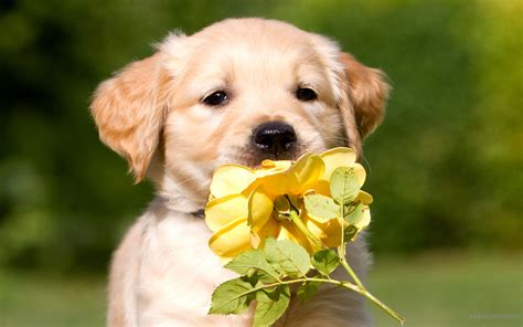 golden retriever puppies pictures golden retriever puppy wallpaper high definition high quality widescreen