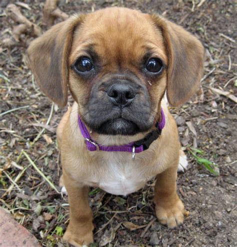 pug cross dogs boxer pug mix
