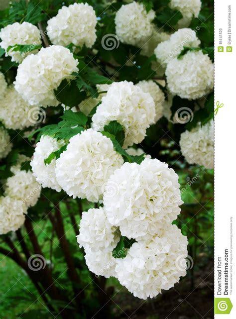 fiori a palla fiori bianchi a palla stratfordseattle