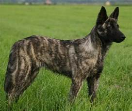 brindle colored dogs brindle color in dogs breeds picture
