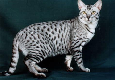 Freaky Friday: The Ocicat!   Also Into Cats