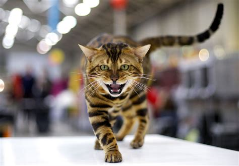 cat and show mediterranean winner 2016 cat show in rome 1 chinadaily cn