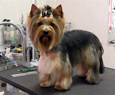 yorkie haircuts pictures only females yorkie haircuts pictures for summer