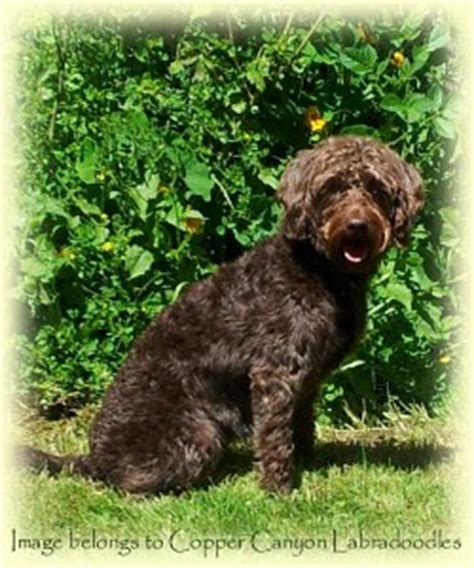 goldendoodle puppies for sale vancouver bc australian labradoodle puppies for sale vancouver copper