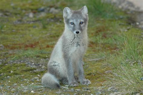 fox like how should we classify arctic and kit foxes history