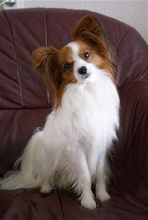 papillon pomeranian mix for sale papillon pomeranian mix puppies for sale zoe fans pooches like rickinou