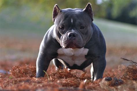 micro bully puppies the gallery for gt pocket bully pitbulls for sale