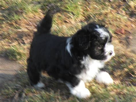 havanese do they shed weyforth s havanese havanese breeder jarrettsville maryland