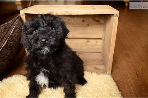 portuguese water for adoption portuguese water puppy for sale near guelph ontario 69cdf749 f611