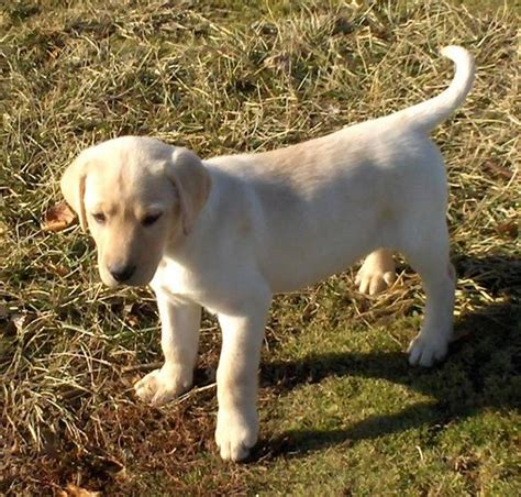8 week puppy 8 week golden puppy retriever yellow lab motorcycle review and galleries