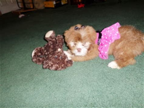 all you need to about yorkies yorkie poo all the information you need to about this poodle breeds picture