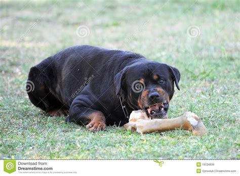 angry rottweiler angry rottweiler royalty free stock images image 19724839