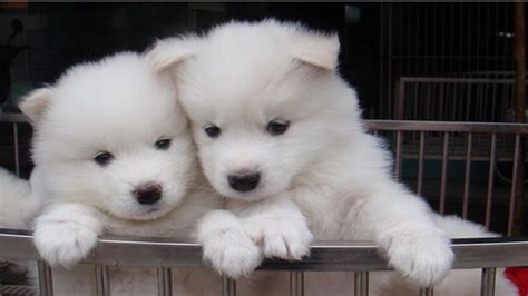 samoyed puppies for sale oregon miniature siberian samoyed puppies breeds picture