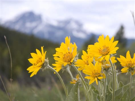 arnica  doses interactions remedy  benefits dr